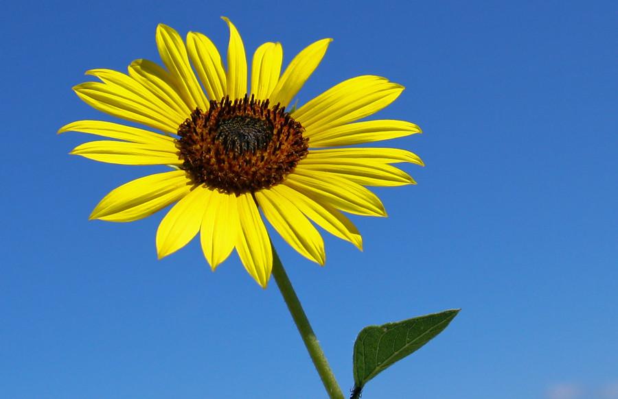 Bush Sunflower   Helianthus pumilus, aka Dwarf Sunflower ...