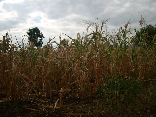Carbon Covenant - Tanzania: Corn close up | by InterfaithPowerandLight