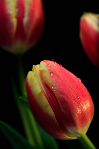 Tulip Concerto | by asterb