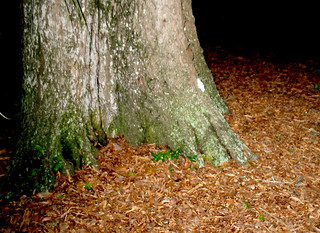 Oak Tree Base Trunk Mulch Night | by cdsessums