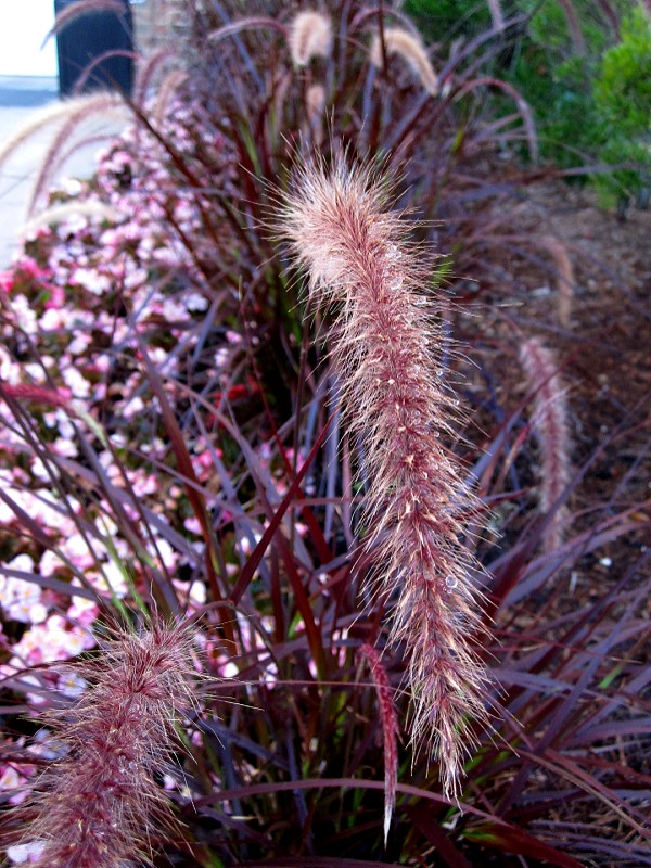 Red ornamental grass seed july 2010 wintersoul1 flickr for Red and green ornamental grass