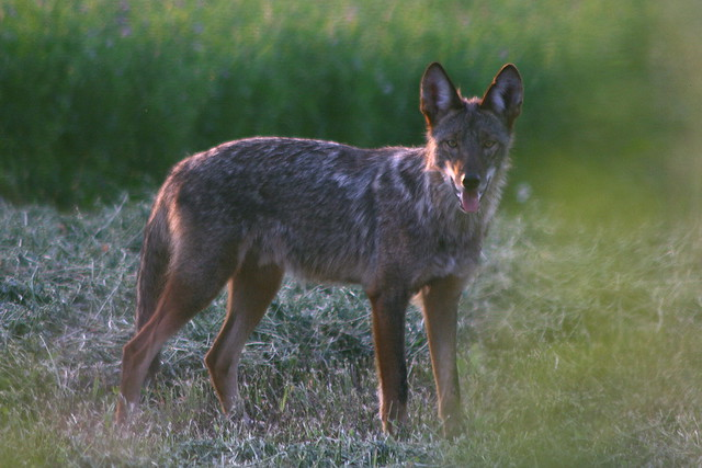 Eastern Coyote | Flick...