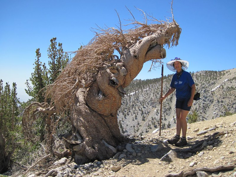 Dead Limber Pine that looks really interesting