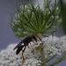 Sphex nudus, Katydid Wasp