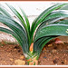 Lovely distichous leaves of Clivia miniata