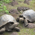Mating Tortoises - Galapaguera de Cerro Colorado - Giant Tortoise Breeding Station - San Cristobal - Galapagos Islands