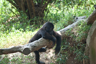 Kibibi, Baby Gorilla, and the Log - Series pt. 1 | by Clara S.