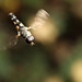 Hoverfly Syritta pipiens in flight #1