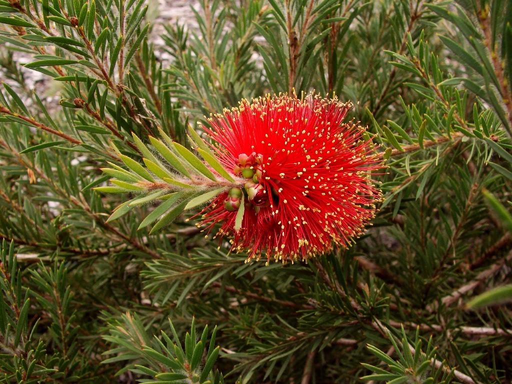 Bottle-brush flower | Callistemon pearsonii 'Rocky Rambler ...