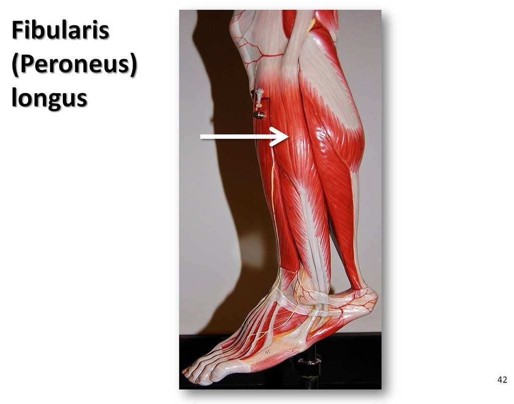 Fibularis longus - Muscles of the Lower Extremity Anatomy ...