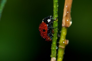 Ladybird | by Emerging Birder