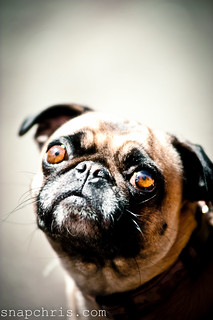 cute expectant pug dog with telling eyes | by tibchris
