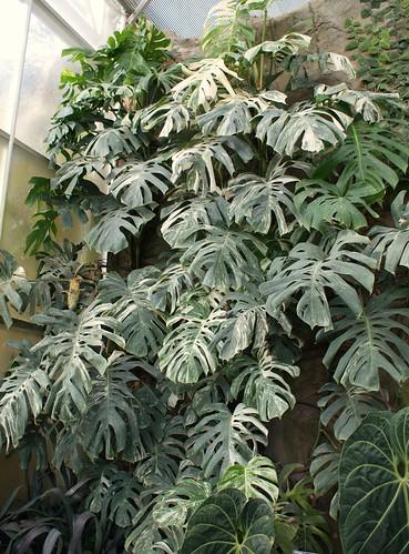 monstera deliciosa 39 variegata 39 2 karl gercens flickr. Black Bedroom Furniture Sets. Home Design Ideas