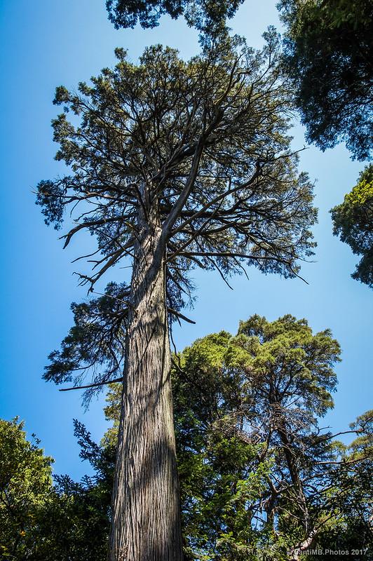 Árbol monumental del Bosque Encantado de Buçaco