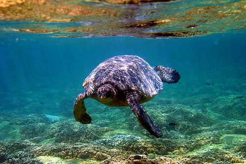 Sea Turtle | by keyweststeamplant
