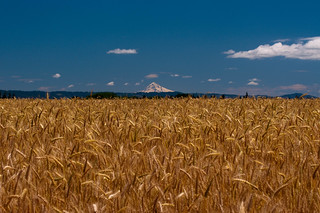 Oregon Wheat Field | by WebbShots