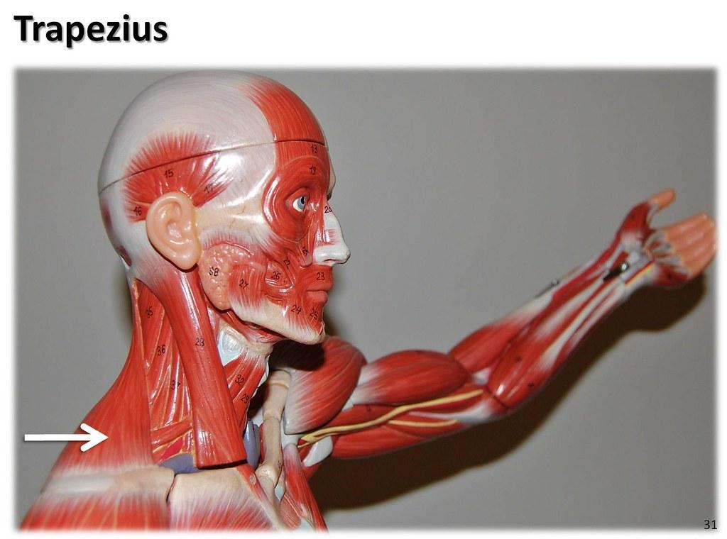 trapezius  lateral view
