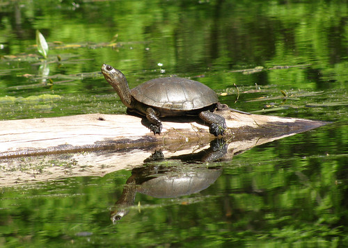 072010_western_pond_turtle_wray_odfw.jpg | by Oregon Department of Fish & Wildlife