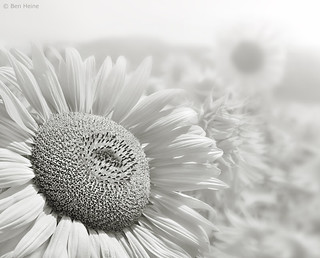 In a Sunflower World | by Ben Heine