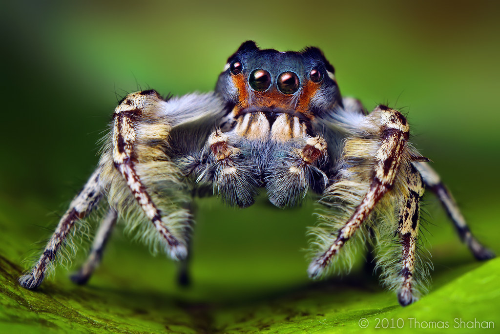 Adult Male Phidippus putnami Jumping Spider | Click here ... The Most Beautiful Black Baby In The World