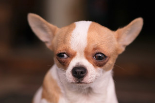 The Skeptical Chihuahua, Taipei | by Yiie