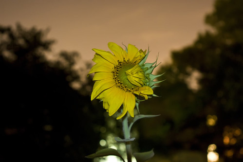 Sunflower...At Night! [042/365] | by thezidane