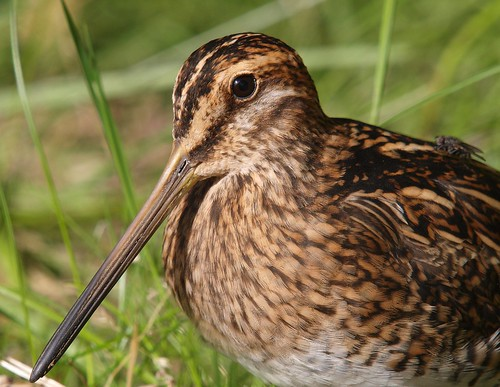 Snipe 11 (hrossagaukur) | by Svenni and his Icelandic birds.
