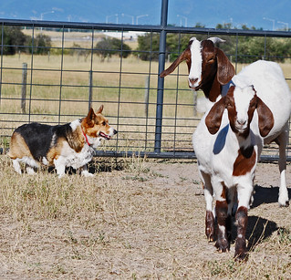 Lizzy always puts a smile on her face when she herds the goats | by 2-Dog-Farm