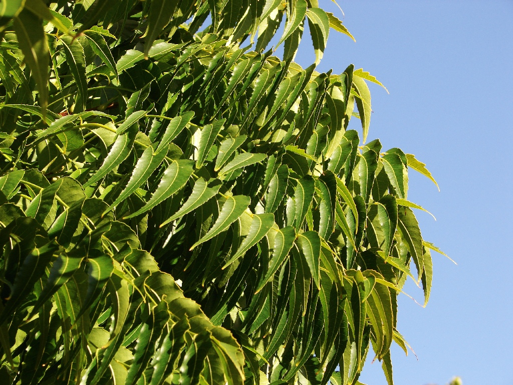 Neem Tree Oil Near Belly Button