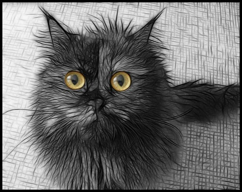 Grey And White Fur Cat