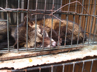luwak (civet cat) | by surtr