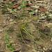 Isoetes melanopoda, Floyd County Prairies area, Floyd County, Georgia 1
