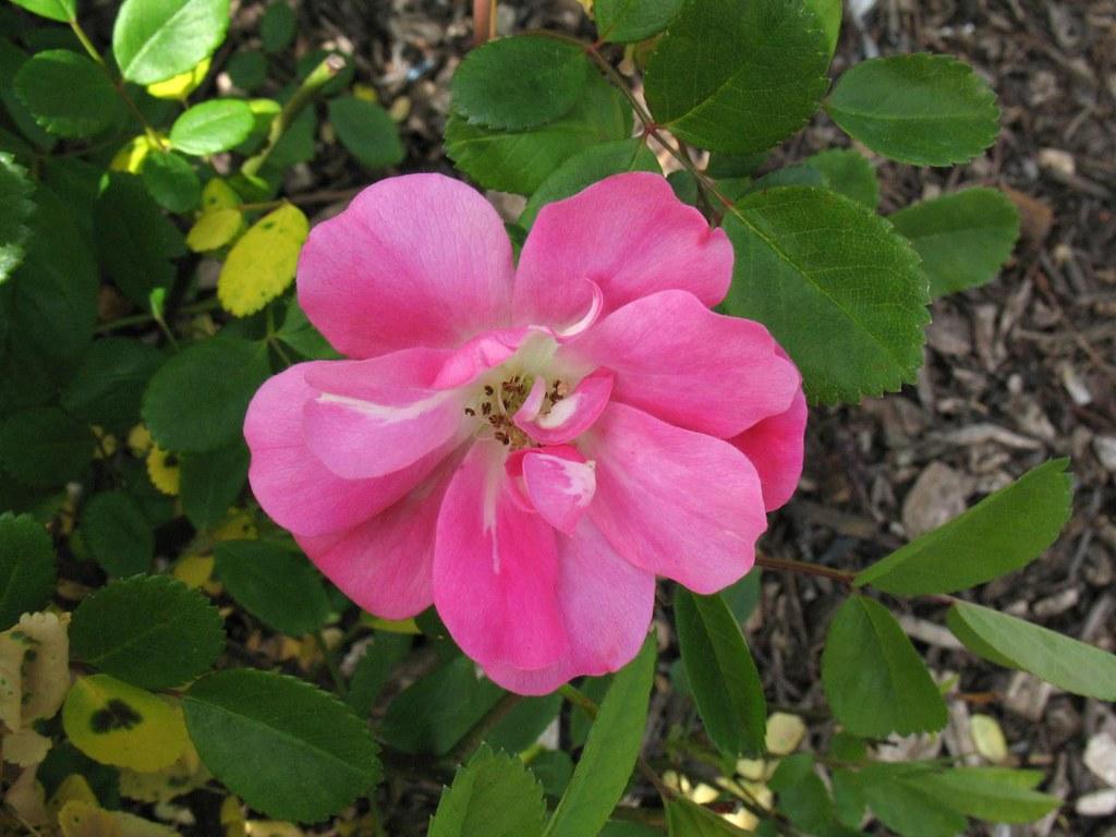 Phalaenopsis L 9 11 Taken San Jose Heritage Rose Garden Flickr