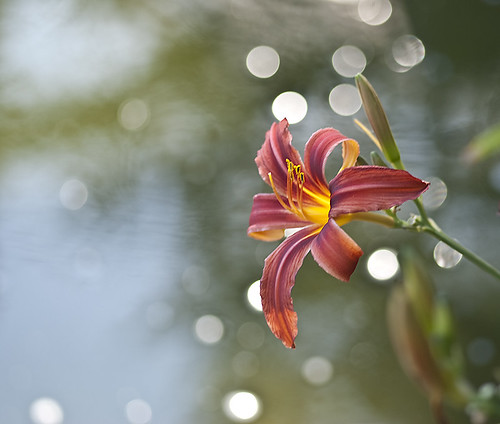 Lily and water | by belladoja