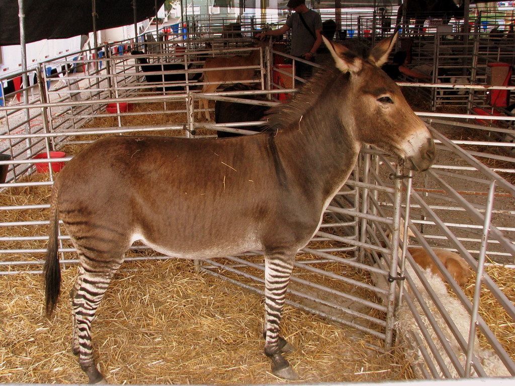 Zebra schoudertas paard : Tn state fair zedonk as part of the petting zoo