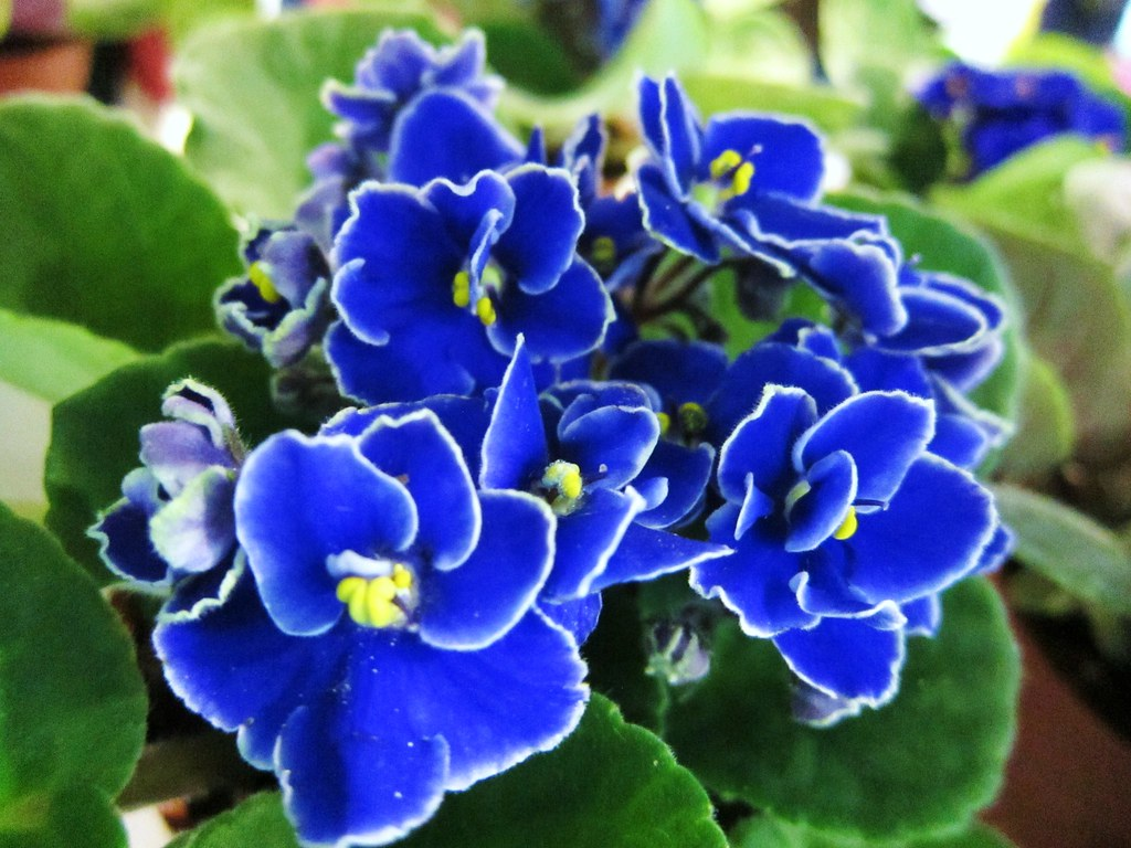 African Violet Deep Blue Blue African Violet With White