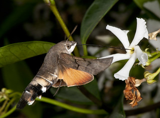 Hummingbird Hawk Moth (Macroglossum stellatarum) Photograph 2 | by Myopic Fish