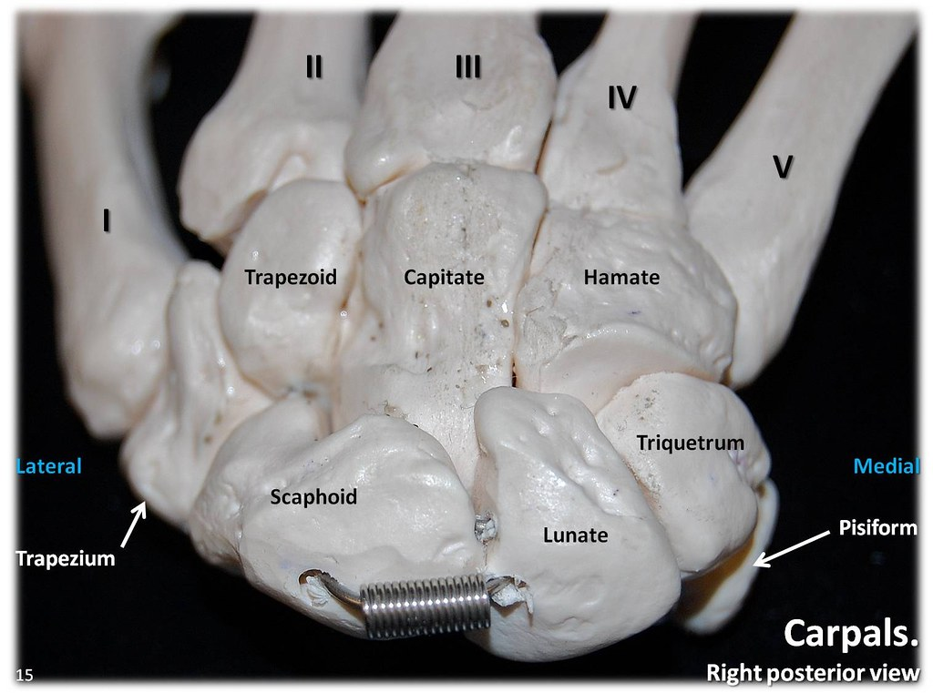 Carpals  Posterior View With Labels