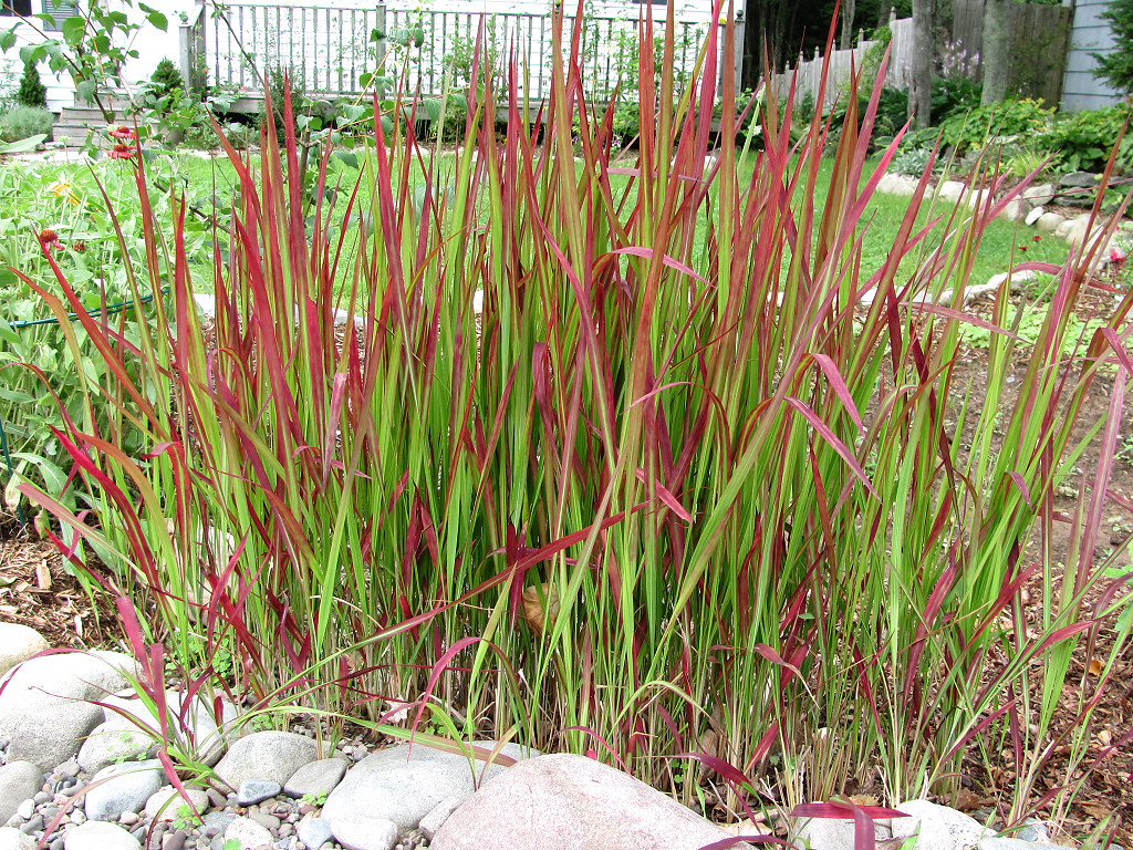Red baron grass imperata cylindrica 39 red baron 39 linda daley flickr - Imperata cylindrica red baron ...