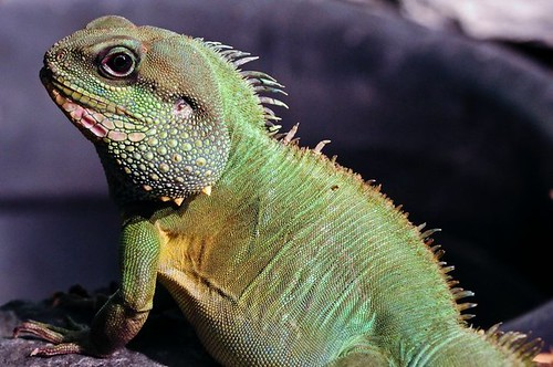 Chinese water dragon | by Potter Park Zoo