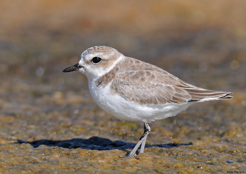Snowy Plover | by Jerry Ting