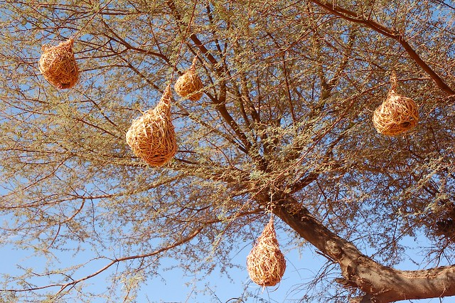 Weaver Bird nests hanging from an Acacia Tree, between ...