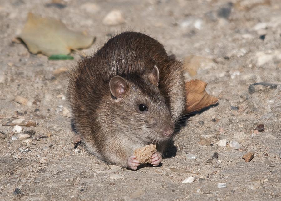 Brown Rat Brown Rat Rattus norvegicus