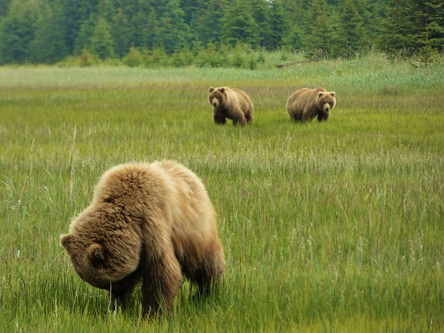 Osos en Lake Clark National Park (Alaska)