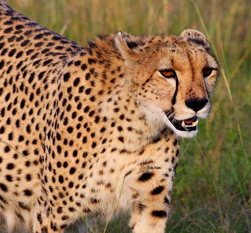 Pregnant female cheetah IV | by jensvins