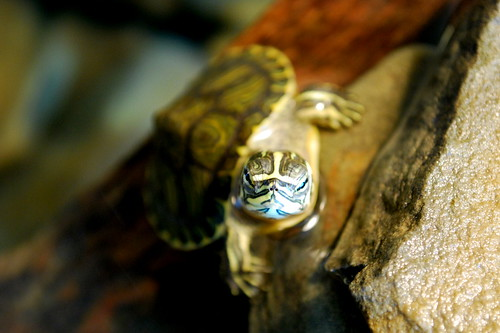Lovely turtle baby - Yellow-bellied slider | by littleblom