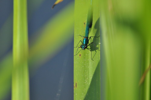 damselfly 2 | by Tom Jacques Photo