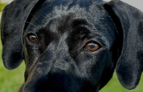 Max is a Labrador Retriever/German Shorthair Pointer mix adopted from ...