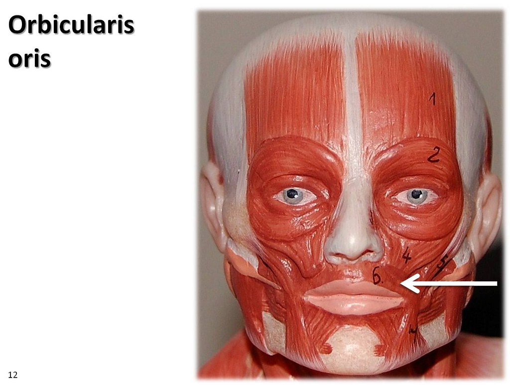 orbicularis oris, small model - muscles of the upper extre… | flickr, Human Body