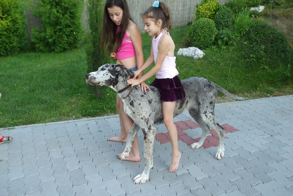 Great Dane Riding  Child Riding Dog  Ponydog76  Flickr-3828